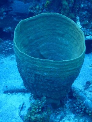 Barrel sponge; the wreck was torn in two by a Norwester in 1999; the bow sits in about 100 feet of water