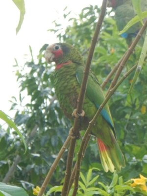 The critically endangered Cayman Brac parrot lives only on this island; their population is estimated at 400