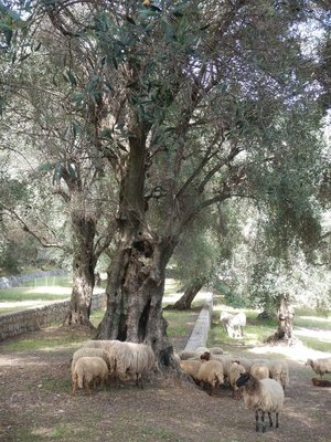 I discovered a huge grove of olive trees and a skittish flock of sheep; Menton was the only sizable settlement captured by Italy during its invasion of France in June 1940