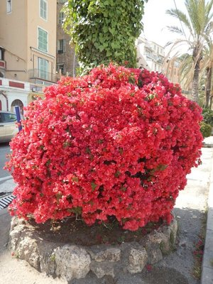 What perfect bougainvillea!; the microclimate here allows citrus production, with the city noted for its Lemon Festival in February