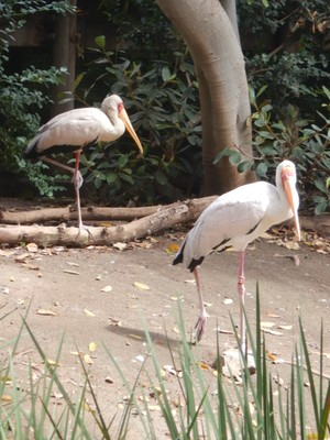 The yellow-billed stork is widespread in areas south of the Sahara and does not generally migrate far; on descending from high altitudes, it has been observed to dive at high speeds and flip over and over from side to side, showing impressive aerobatics
