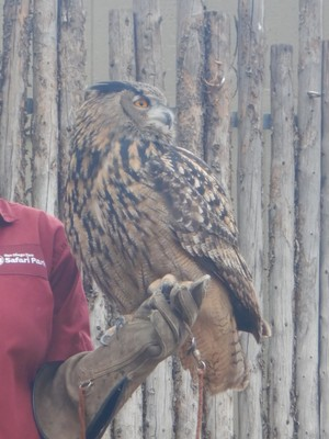The Eurasian eagle owl is among the largest of owls and is widely distributed across Europe, Russia and central Asia; this species has a wingspan exceeding 6 feet but still weighs less than 10 pounds