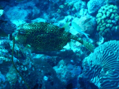 Honeycomb cowfish; this species tends to be blue in color, but can also be yellow, gray or green.with juveniles generally more colorful than adults