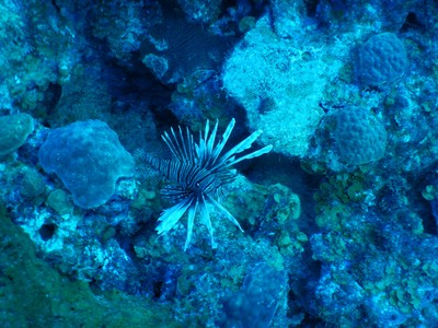 One of a dozen lionfish we saw at Alice in Wonderland dive site; yellow painted rocks on the side of the road mark the dive sites