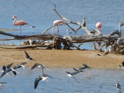 The large condensing ponds which ring the crystalizer basins to produce salt, called the Pekelmeer, are a natural habitat for numerous species of brine shrimp which in turn feed flocks of hundreds of pink flamingos and other migratory birds