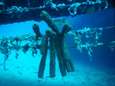 Pipe coral on mast of Hilma Hooker; the ship, built in 1951, sunk near the Dominican Republic in 1975 but was raised before being intentionally sunk here in 1984