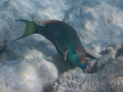 Stoplight parrotfish; like most of its relatives, it is able to change sex; these fish are typically 12-18 inches long
