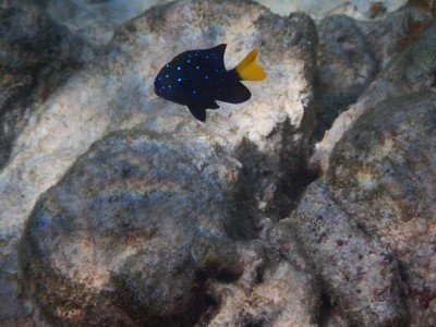 Yellowtail damselfish; when juvenile it has brilliant (metallic) blue spots on a dark blue background and is normally found among branches of yellow stinging coral