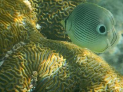 Foureye butterflyfish; a black vertical bar on the head runs through the true eye, making it hard to see