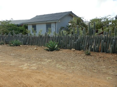 Traditional cactus fence made of Yatu cacti; this columnar species grows straight up with a fruit used to make jams and for medicinal purposes
