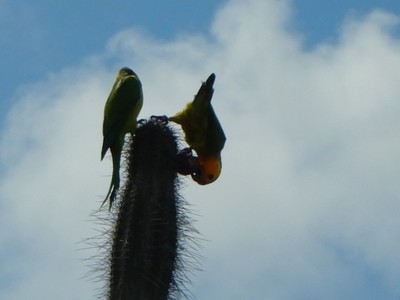 Bonaire is home to the ecologically vulnerable yellow-shouldered Amazon parrot; it exists only on Bonaire and in northern Venezuela