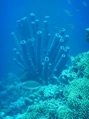 Tube sponges are animals although they lack organs and true tissues; the shapes of their bodies are adapted for maximal efficiency of water flow through the central cavity, where it deposits nutrients