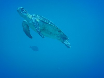 Endangered Kemps-Ridley turtle; these are smaller than the green sea turtles also present in Bonaire waters