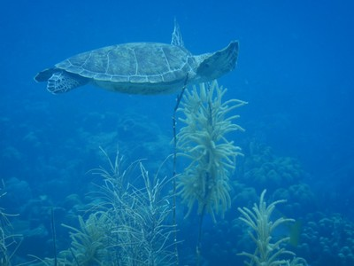 Green sea turtles are for the most part herbivores, grazing on sea grass and rooted algae although they do eat jellyfish (and, sadly, plastic bags)