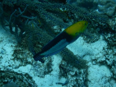 Yellowhead wrasse; in the late 1600s, slaves were brought to Bonaire and worked tending crops and in the salt pans