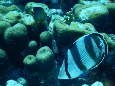 Banded butterflyfish; in traditional Dutch fashion, bicycles are a popular means of transportation on the island (as are scooters)