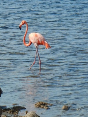 Goto Lake; Bonaire is home to one of only four nesting grounds for the Caribbean flamingo