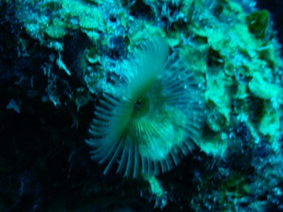 Feather duster worm; United flies non-stop from Houston to Bonaire once a week on Saturdays and returns on Sundays