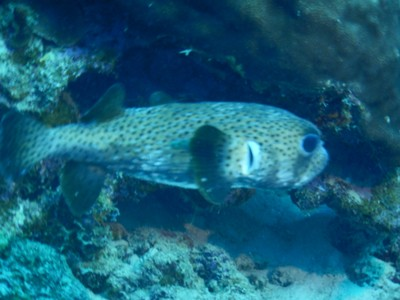 Porcupinefish; my underwater camera died early in the week but fortunately there's a good camera store on the island where I found a replacement