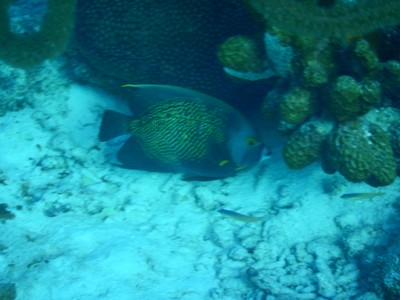 French angelfish; during the day you will mostly see these fish out and about, but come night they seek shelter in their designated hiding spot where they return every night