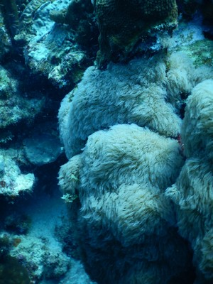 Hairy mushroom coral; like the name suggests, the surface of this coral is covered with many hair-like tentacles