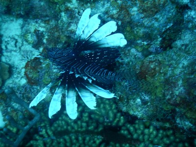 Lee and I saw a huge lionfish during our Karpata dive but he was under a ledge where I couldn't get a photo; this was another one seen on our dive