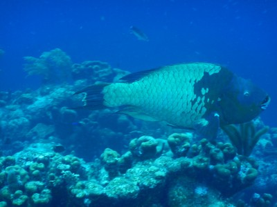 It is illegal to harvest parrotfish (this one was huge!) on Bonaire;  without constant grazing from herbivores like parrotfish, algae would grow tall and thick smothering coral so the parrotfish is very important for a healthy reef