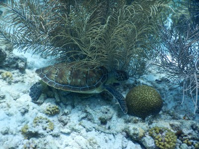 One of two large green sea turtles seen during Karpata dive; Bonaire has long been a leader in nature conservation and ecological responsibility