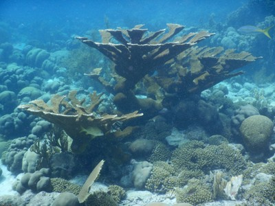 Elkhorn coral branches create habitats for many other reef species, such as lobsters, parrotfish, snapper, shrimps and other reef fish; this prominent Caribbean reef-building coral is still struggling to recover from white band disease