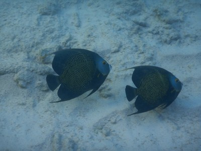 Less than 5% o the animal kingdom mate for life; included in this group are French angelfish, puffins, clownfish, and seahorses