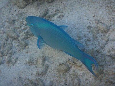 Blue parrotfish spend 80% o their time searching for food; they use beaks to scrape algae and small organisms from rocks and teeth which grind ingested rocks into sand
