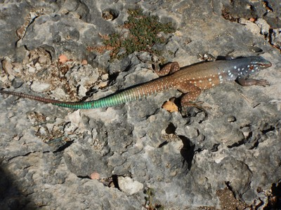 Bonaire whiptail lizard; the Dutch attacked Bonaire during the 80 Years War and conquered the island in 1636