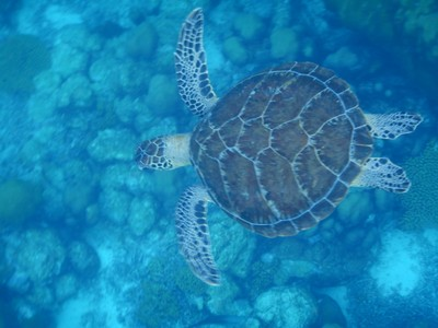 One of four green sea turtles we saw snorkeling from La Dania's Leap to Karpata; Bonaire lies only about 50 miles off the coast of Venezuela and lies outside Hurricane Alley