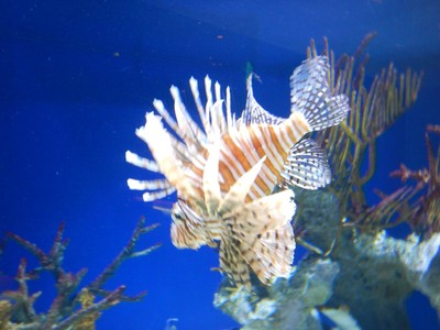 Lionfish are native to the Indo-Pacific region but are invasive in the Caribbean, Atlantic and Mediterranean; in humans, their venom can cause extreme pain, nausea, vomiting, breathing difficulties, convulsions, dizziness, numbness, diarrhea, and sweating