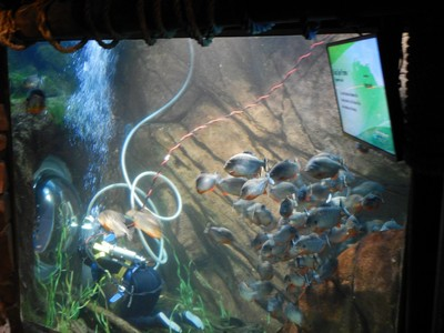 The black spotted piranhas ignore a worker cleaning their tank; I'm not sure I'd have the confidence to have my back to these fish