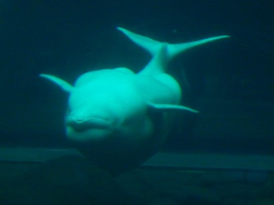 The beluga whale (this one is swimming upside down) is an Arctic species that can grow to 3500 pounds and 18 feet long