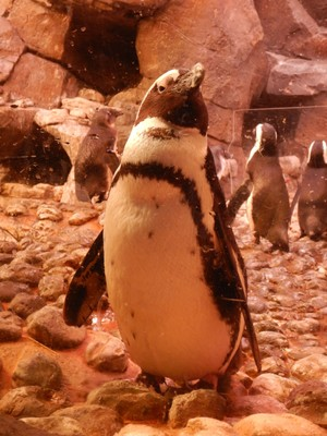 Penguins live in the Southern Hemisphere; depending on the species, penguins range from 16 inches tall (fairy penguins in the Galapagos) to 3 1/2 feet tall (emperor penguins in Antarctica)