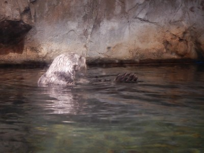 Sea otters are native to the northern Pacific Ocean; they are the heaviest members of the weasel family (up to 100 lbs), but among the smallest marine mammals