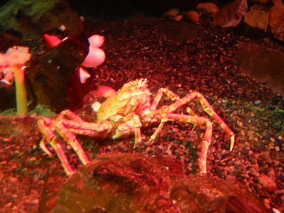 The Japanese spider crab can live to 100 years old and have a leg span of 13 feet!; they are the largest of all arthropods, a family that include spiders and insects