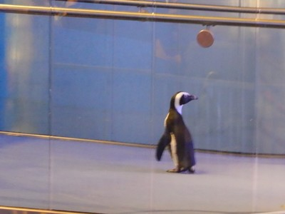 The aquarium has a penguin parade several times a day; this penguin seemed tempted to abandon his handlers and experience freedom