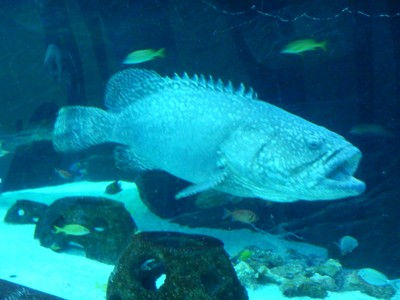 This giant grouper watched as aquarium visitors walked through a tunnel within his huge tank; giant groupers can reach almost 9 feet in length and 880 pounds