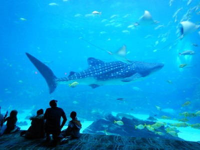 The Georgia Aquarium has the only whale sharks in the US; I'm hopeful that I'll see these big guys in the wild on my upcoming Asia travels