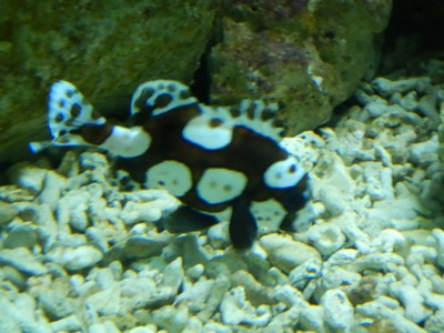 Spotted sweetlips; there were lots of admission options but I chose the cheapest visit which was about $10