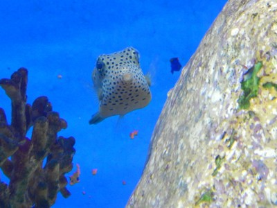 Dogface pufferfish; the aquarium had tons of school groups and is hopefully educating them about protecting the environment