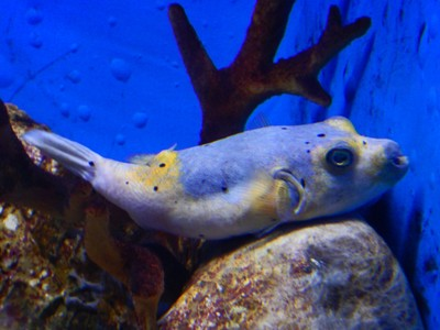 Black-spotted pufferfish; locals speak Tagalog but many know some English and the performances at the Aquarium were narrated in English