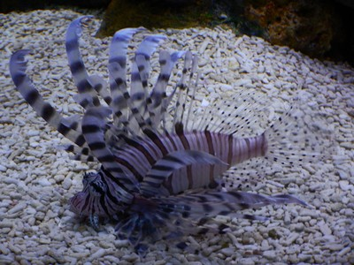 Lionfish; Manila doesn't have much in the way of tourist attractions but serves as a gateway to other Philippine destinations
