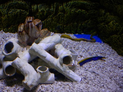 Ribbon eel; this species is native to the Indo-Pacific region and can reach 4.5 feet long