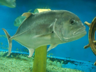 Giant Trevally; this species can weigh up to 175 pounds and is native to the tropical waters of the Indo-Pacific region