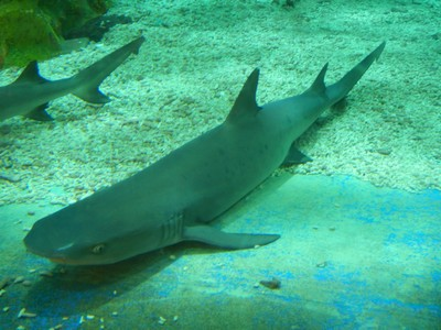 The tawny nurse shark is nocturnal, endemic to the Indo-Pacific region and eats primarily octopus; a large hotel and shopping complex is attached to the aquarium