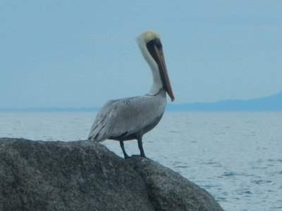 Brown pelicans are a common sight in PV; their graceful flying, just inches above the water, adds to their appeal